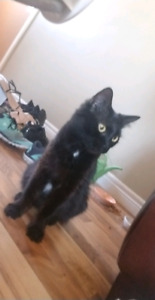 Black Cat  Found In St Catharines