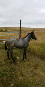 6 month filly