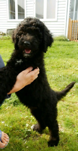 Wow! Goldendoodle
