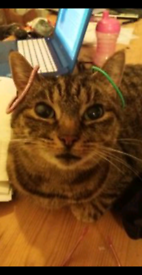 Tabby cat SAFFY missing from salesian Gardens in temple cowley REWARD