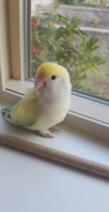 Cutest LoveBird - but kinda not friendly. Cage included.