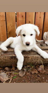 Great Pyrenees X Puppies