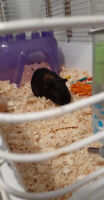 Guinea pig for a rehoming