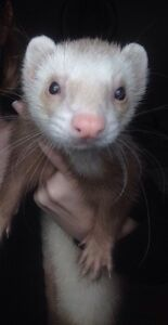 Ferrets for Sale!!!!
