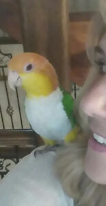 Caique white belly 1,300$