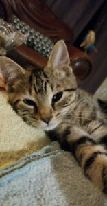 Dustin - rescued brown tabby male kitten for adoption