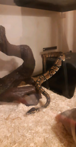 Young female Ball Python
