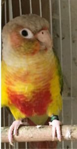 MALE PINEAPPLE CONURE