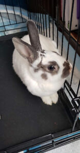 RABBITS - FEMALE (2)- URGENT NEED TO BE REHOMED