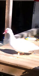 Muscovy Drake for sale