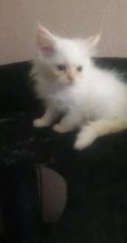 Male persian/ragdoll kitten