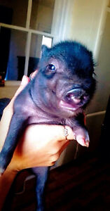 Mini Micro Pigs - ONLY 3 LEFT Kitchener / Waterloo Kitchener Area image 5