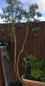 Eucalyptus trees x2 garden