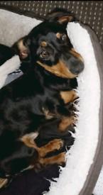Female dachshund