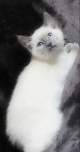 Ragdoll x Siamese Kittens for Rehoming