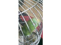 Green and red beautiful amzon parrot with cage