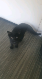 Black and Tortoise 12 weeks kittens Available
