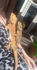 Both Half leather back Bearded dragons for sale