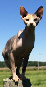 Adult Sphynx Cats For Sale