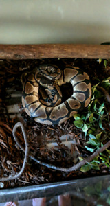 Ball Python and accessories