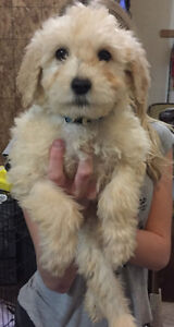Goldendoodles puppies. 1 male left