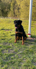 6 month old female rottweiler