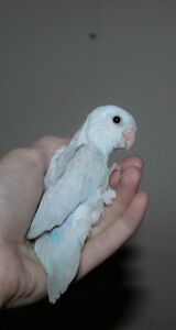 Baby Parrotlets - Greens, Yellows and Blues available
