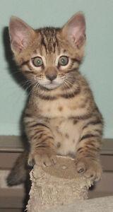 Super chatons Bengal mâle rapporte la balle très belles rosettes