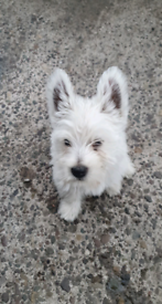 West highland terriers pup's