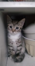 Lovely tabby male kitten