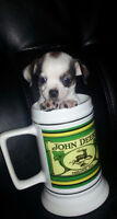 Chihuahua/Pug/Jack Puppies for sale