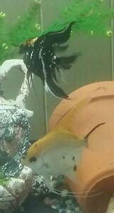 I am looking for a male black and orange marble angelfish
