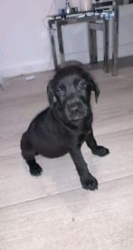 Golden retriever/ Labrador cross pups.