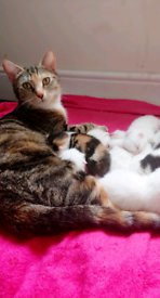 8 Calico/white American short hair kittens 5 left