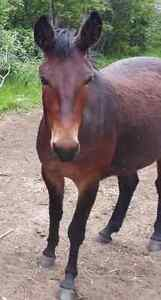 Pony Mule for sale