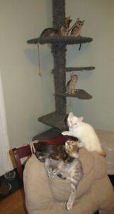 BENGAL Cat Kitten Cubs $600.00 GORGEOUS PUREBREDS SNOW IS $1000.