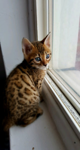 One Bengal kitten left