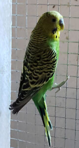 Beautiful green and black budgie