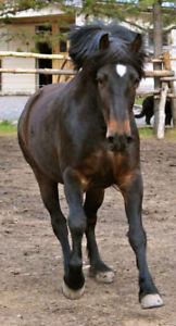 SOLD- 2011 Canadian Gelding