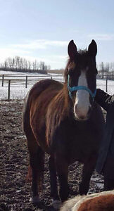 8 yr old welsh/quarter horse mare
