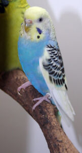 Young yellow face Budgie wanted