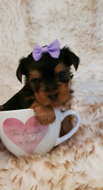 Adorable Miniature Yorkshire Terriers puppies fullbreed