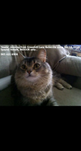 Lost Cat from Greenhill Lane Belleville