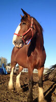 2007 Clydesdale mare