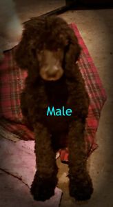 Black male standard poodle