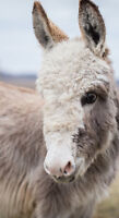 Two Miniature Donkeys looking for a new home