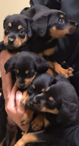 4 Beautiful Rottweiler Puppies Looking For New Forever Homes!