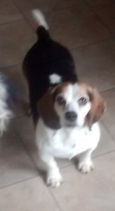Lost Beagle in Woodlawn Area