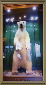 Polar bear for sale ours polaire à vendre naturaliser