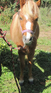 Partial Herd Dispersal of Miniature Horse Mares Kawartha Lakes Peterborough Area image 5